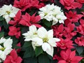 DISPLAY 3 - Tropical / Poinsettia  (3 of 7)