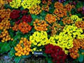 DISPLAY 5 - Schizanthus / Calceolaria  (5 of 7)