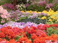 DISPLAY 5 - Schizanthus / Calceolaria  (6 of 7)